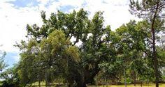 Tem 700 anos, ficam em Portugal e é o Carvalho mais antigo da Europa