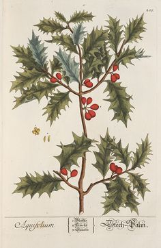 old scientific drawings of holly - Google Search