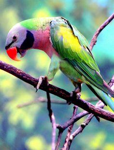 Red-breasted parakeet (Psittacula alexandri fasciata)