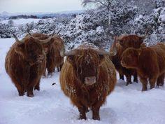 Cattle of Ferindonald