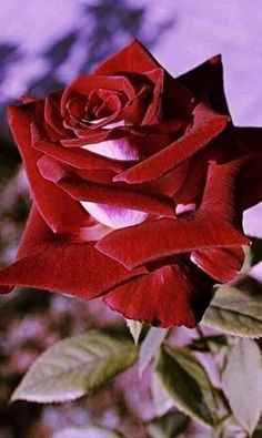 This Beautiful Rose is for My beloved AuntGrandMother. Beautiful Rose Flowers, Exotic Flowers, Amazing Flowers, Rose Video, Rose Images, Special Flowers, Exotic Plants, Flower Art, Red Roses