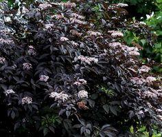 Black Beauty Elderberry 2