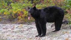 Don't Legalize Trophy Hunting of Black Bears – ForceChange
