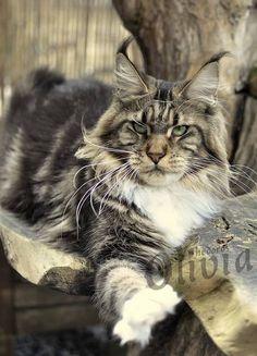 Olivia Shedoros Maine Coon Cattery ©Dorothea Scibura www. Pretty Cats, Beautiful Cats, Animals Beautiful, Cute Animals, Kittens Cutest, Cats And Kittens, Gatos Cats, Maine Coon Kittens, Norwegian Forest Cat