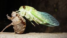 cicada2_bohlmeyer.jpg (1198×682)