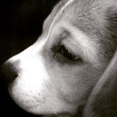 Beagle#Throwback Thursday2006Charlie..