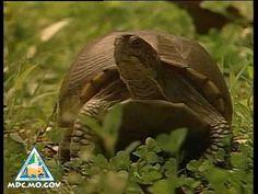 Box Turtles Video   Missouri Department of Conservation