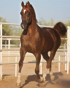 Bremervale Andronicus++++// chestnut stallion