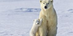 This Is Our Last Chance To Save Polar Bears From Extinction | The Huffington Post