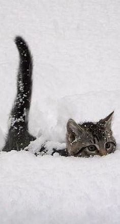 Do your cats like the snow? Some cats hate the snow but other cats have a lot of fun outside in the snow. These cats seem to be having a good time of it. cute cat and kittens I Love Cats, Crazy Cats, Cool Cats, Cute Baby Animals, Animals And Pets, Funny Animals, Animals In Snow, Cute Kittens, Cats And Kittens