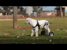 Goat in a wheelchair-Highlight of my day!