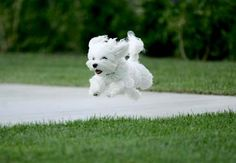 Flying Maltese! I love to see Surya run, his fur looks like a white blur!