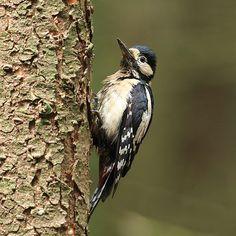 Fotograaf: kasteelheertje  Altijd leuk als Woody Woodpecker zich laat zien en horen.      Categorie:Vogels (mus, valk, etc)      Nederlandse naam: Grote Bonte Specht