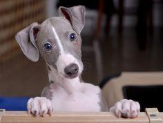 Italian Greyhound / Galgo italiano