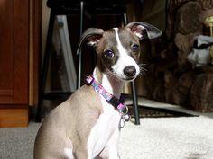 Valeno, Italian Greyhound