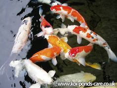 How To Build A Koi Pond | Koi Pond Beginners Guide ::