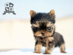 Teacup Size Yorkie by LuxPup, via Flickr