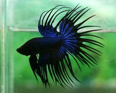 Black and blue crowntail, alot like my own but with some red too. His name is Pretty Little Bastard :)