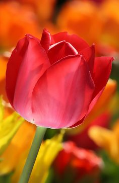 Red Tulip by *S A N D E E P*, via Flickr