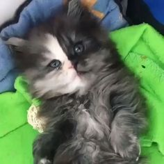 √ 14 Most Amazingly Beautiful Cat Breeds in the World - Cats Cats Cats - Cute Kittens, Beautiful Kittens, Beautiful Cat Breeds, Pretty Cats, Animals Beautiful, Cute Kitten Videos, Cute Videos, Cute Funny Animals, Cute Baby Animals