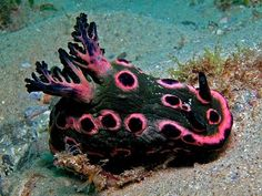 http://www.pinterest.com/pattydijigov/mollusca/  Donut Nembrotha nudibranch... australia