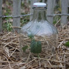 Protect Vegetable Transplants With Home-Made Glass Garden Cloches ...