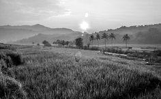 https://flic.kr/p/MHj51t | rice field | rice fields