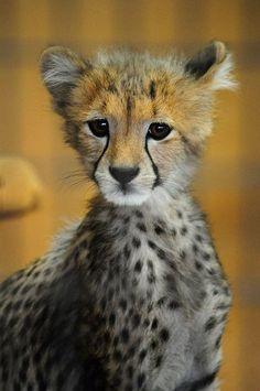 Alert cheetah cub