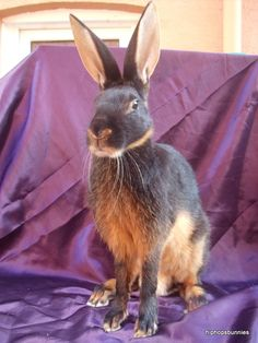 I'm pretty sure the black and tan Belgian Hare is my spirit animal, so I'm going to need one as a pet, ASAP.