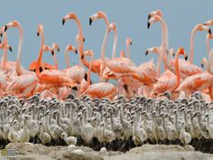 "When chicks are a few weeks old, parents leave them in a crèche and go in search of food, taking turns returning day and night to feed them. - Photograph by Klaus Nigge From ""Flamingos"", National Geographic, April 2012"