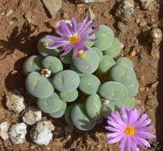 Conophytum taylorianum ssp. ernianum PVB 9478 (S. of Zebrafontein, Namusberg)