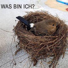 Kleines #Bilderrätsel: Um welchen #Vogel handelt es sich hier? Hintergrundinfo: Er flog gegen eine #Scheibe aber ihm geht es wieder gut :-) #Vögel #Singvogel #Singvögel #Rätsel #vogelbestimmung #welchervogelistdas #cute #vogelschlag #naturschutz #nature #natur #natureconservation #bayern #bavaria #birdsofinstagram