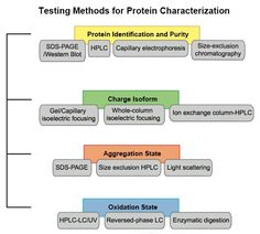 Basic Protein Characterization: Profacgen's biochemical research facility enables the comprehensive analysis of basic protein characteristics. Various technologies, including chromatography, electrophoresis, immuno blotting, immune-precipitation, flow-cytometry, microscopy, are used in our facility for protein identification, separation, and analysis.