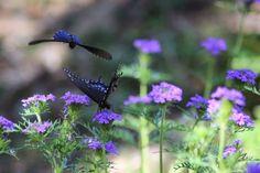Rock-Oak-Deer: Eastern Black Swallowtail on native prairie verbena in summer garden
