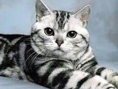 導讀:人的眼睛有看不見的一天,貓也不例外,千萬不要因為貓咪看不見而輕易拋棄牠,只要生活上稍微注意,考慮到它能力的局限,但也不需要過分照顧他。貓咪常能感受到主人的情緒,如果你對它有信心的話,它也會有信心的。