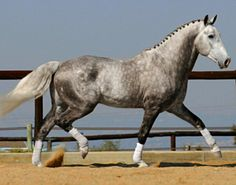Irish Draught Horse, RID, stallion Rosenburg.