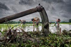 Paddy Cultivation par Sujan Sarkar (India, West Bengal)