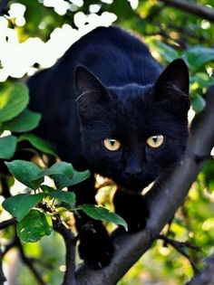 Black cat with golden eyes - in a tree...