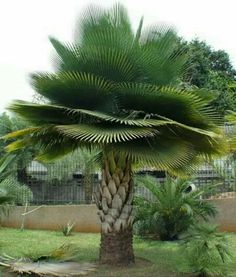 Some gorgeous type of palm tree Unique Trees, Unique Plants, Tropical Garden, Tropical Plants, Trees And Shrubs, Trees To Plant, Weird Trees, Palmiers, Nature Tree