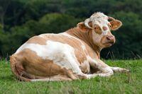 Vache Simmental
