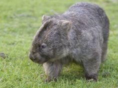 Wombat (Vombatus Ursinus), Wilsons Promontory National Park, Victoria, Australia by Thorsten Milse