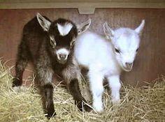Pygmy goats.....adorable!