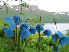 Himalayan Blue Poppy Meconopsis, I love these flowers! So hard to grow, but so worth the beauty!