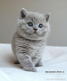 Adorable Gray kitten Alice's kitten, Cheshire: a gift from Maddox