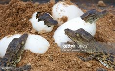 90795274-nile-crocodile-hatchlings-emerging-from-eggs-gettyimages.jpg (524×326)