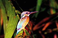 Ein farbenfroher Eisvogel
