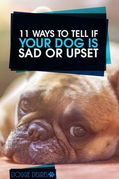 Is your dog seeming a little down lately? Here\'s 11 ways to tell if your dog is sad or upset >> http://doggiedesires.com/how-to-tell-if-your-dog-is-sad/