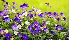 Risultati immagini per pansies Gardening For Beginners, Gardening Tips, Vegetable Gardening, Sun Loving Plants, Flower Center, Plant Growth, Garden Soil, Types Of Plants, Pansies