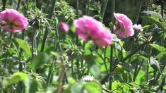 VanDusen Botanical Garden: The Rose Garden & Heirloom Rose Collection Heirloom Roses, Artist Album, Various Artists, Botanical Gardens, 21st Century, Plants, Beautiful, Collection, Plant
