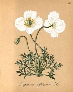 Papaver alpinum L., Die Alpenpflanzen nach der natur gemalt vol 1, 1839